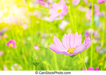 Sun light and Cosmos flowers blooming in the garden, Cosmos flower field with blurred background for copy space