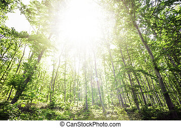 Sun light between the trees in a forest