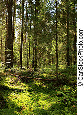Sun light in the coniferous forest. Valday, Novgorod region, Russia.