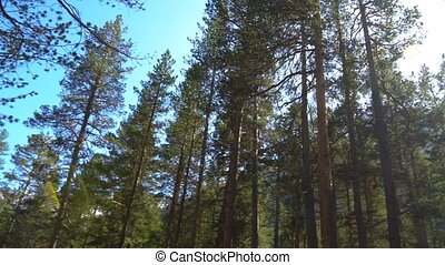 Sun light shining through pine trees branches. Walking through pine forest and looking up to top of trees panorama