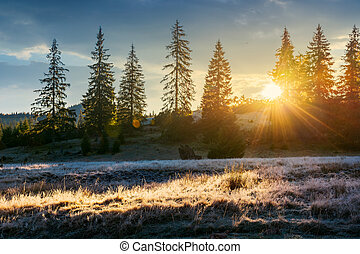 sun light through tall spruce trees on the hill. back lit...