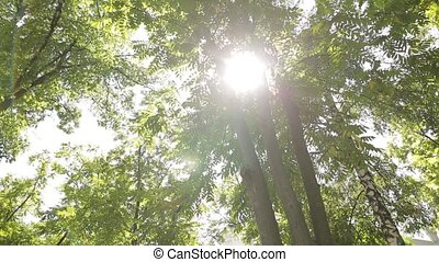 Sun lights up foliage at summer day in grove. Birch, acacia and other trees. Slowmotion shot.