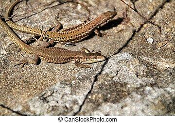 Sun lizards on a stone wall