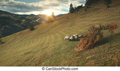 Sun mountain hill. Sheeps at tree aerial. Farm animal. Autumn nature landscape. Biodiversity. Rural pasture. Farmland grass valley. Natural beauty of Carpathians mount countryside, Ukraine, Europe.