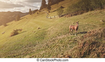 Sun mountain with farm animals aerial. Horse, sheep at rural nature landscape. Autumn grass pasture. Farmland at forest. Biodiversity. Countryside vacation at sunny Carpathian mounts, Ukraine, Europe