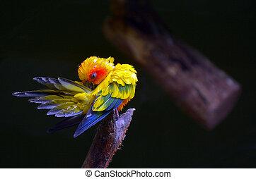 Sun parakeet cleans up