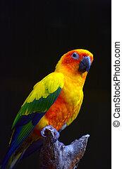 Sun parakeet sit on a tree brance