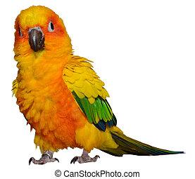 Sun Parakeet - Isolated Sun Conure