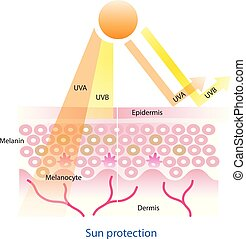 Sun protection on skin layer vector.
