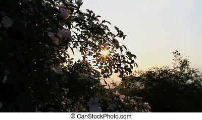 sun ray flowers