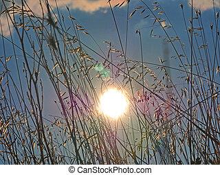 sun ray grass