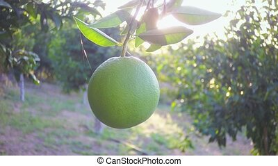 sun rays are poured onto an unripe green orange in the...