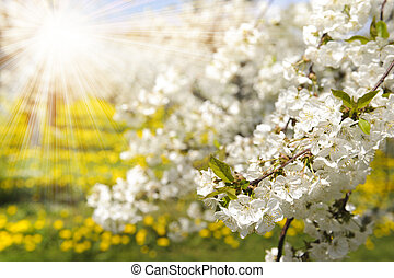 sun rays at blooming apple tree