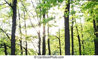 Sun rays come through fresh, lush, spring foliage in a forest