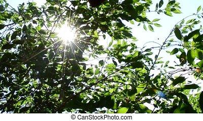Sun rays come through green cherry tree foliage