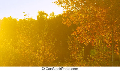 sun rays illuminate golden birch against dark forest