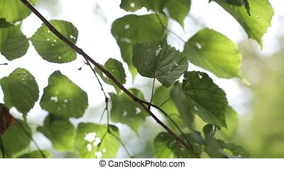 Sun rays in the green leaves of a tree summer sunny day -...