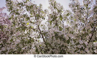 Sun rays make their way through the branches of apple trees with white flowers.
