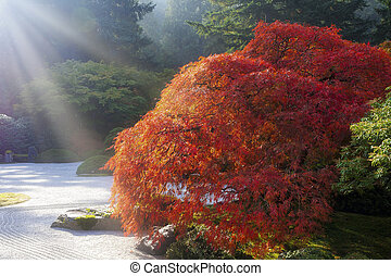 Sun Rays over Old Japanese Maple Tree
