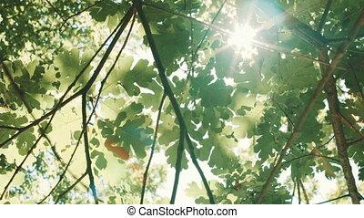 Sun rays Shine through the leaves