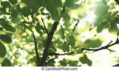 Sun rays Shine through the leaves - Look up fron sun rays...