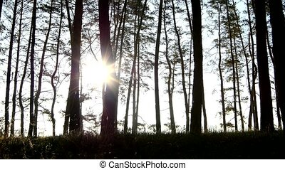 Sun rays shining through branches trees in the dark wood, slow dolly shot