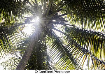 Sun rays through coconut tree