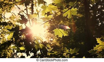 Sun rays through colorful autumn leaves, sepia tone - Sun...