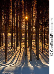 Sun rays through the trees of a forest with long shadows