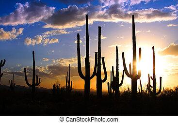 Saguaro national park - Sun set and Saguaro cactus in...