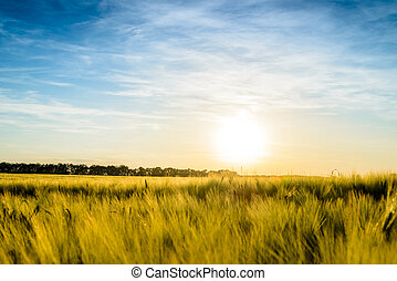 Sun setting over a field of ripening wheat