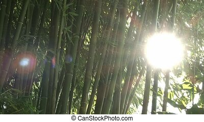 Sun shines through bamboo trees