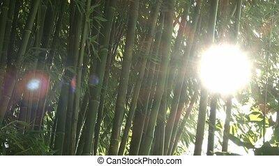 Sun shines through bamboo trees
