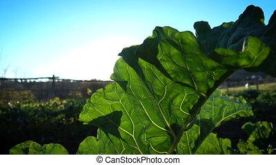 Sun shines through big leaf of collard plant growing on a field
