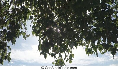 sun shines through birch leaves