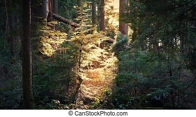 Sun Shines Through Opening In Evening Woodland - Evening in...