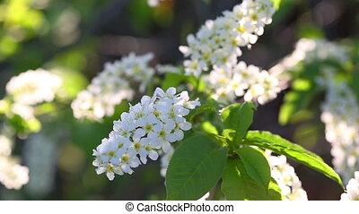 sun shines through the flowers of bird cherry tree
