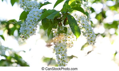 sun shines through the flowers of bird cherry tree