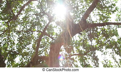 Sun shines through the tree's branches. Tree with aerial...