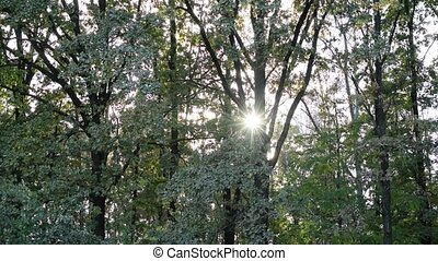 Sun shines through tree foliage in deciduous forest - Bright...