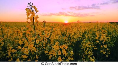 Sun Shining At Sunset Sunrise Over Horizon Of Spring Flowering Canola, Rapeseed, Oilseed Field Meadow Grass. Blossom Of Canola Yellow Flowers Under Dramatic Dawn Sky In Rural Landscape.