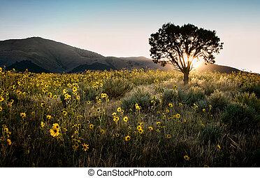 Sun shining through a juniper tree with sunflowers, ...