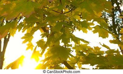 Sun shining through autumn leaves. Bright fall.