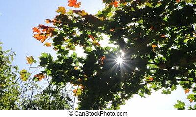 Sun shining through autumn leaves o