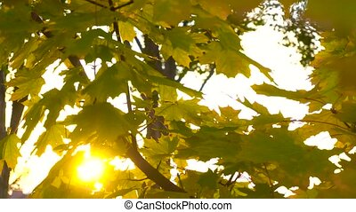 Sun shining through autumn leaves on sunset - Sun shining...