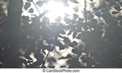 sun shining through birch foliage slow motion video