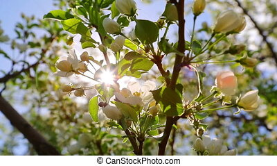 sun shining through blossom apple tree branches