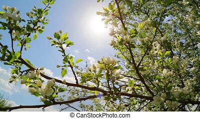 sun shining through blossom apple tree branches - slider dolly shot
