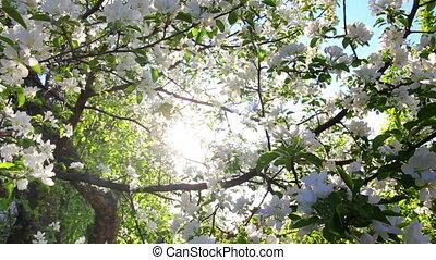 sun shining through blossom apple tree branches