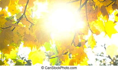 Sun shining through fall leaves blowing in breeze.